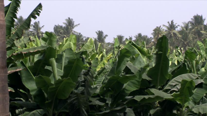 A pan of a lush banana plantation in Salalah, Oman