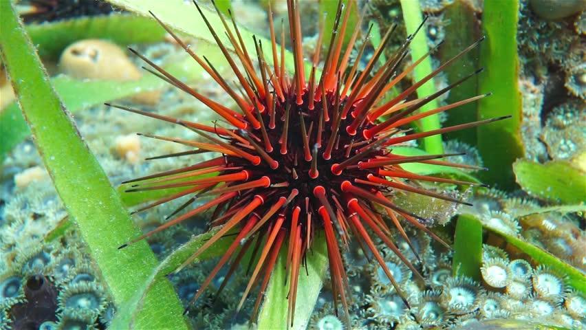 Close up of a sea urchin underwater, Echinometra viridis, commonly called reef urchin, Caribbean sea