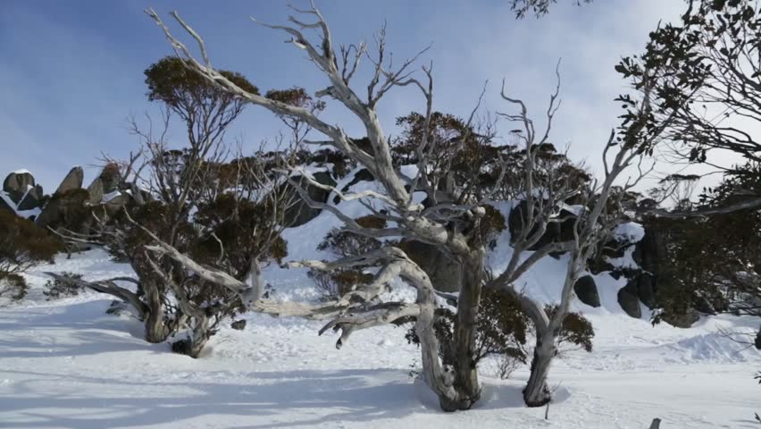 Australian snow gum in Australian fields at Blue Cow resort. Snow Gum shows effect of being windblown and covered in snow