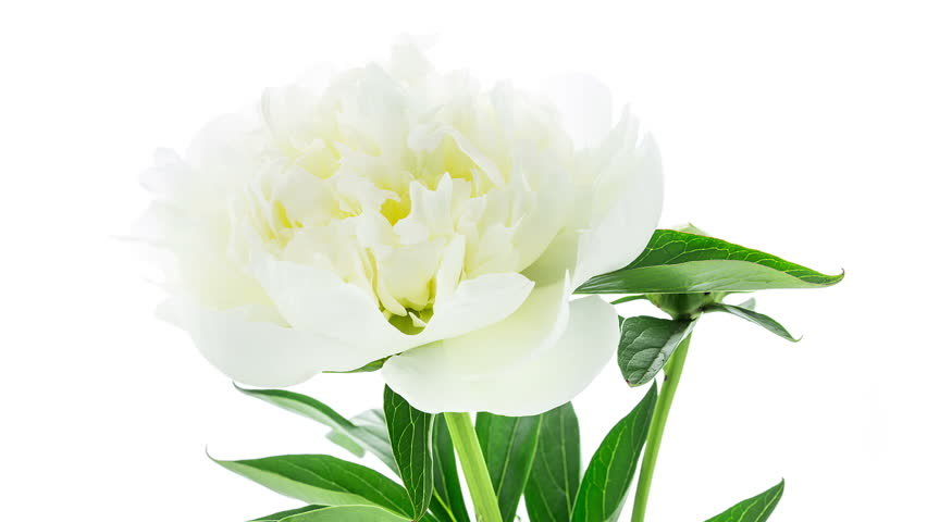 Timelapse of white peony flower blooming on white background in 4K (4096x2304)