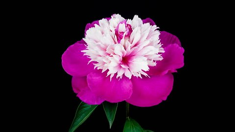 Timelapse of pink white peony Gay Paree flower blooming on black background in 4K (4096x2304)