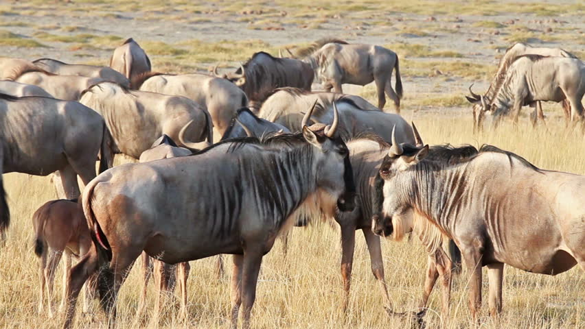 Wildebeests in Amboseli Park, Kenya