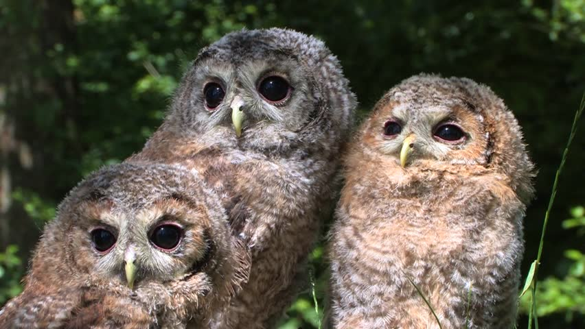 Young tawny owls (Strix aluco) babies - no color grading