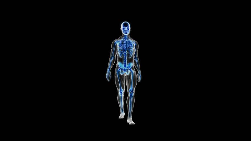 Anatomy of walking