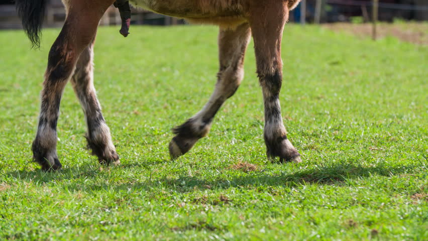 Horse hooves of young foal in green grass walk 4K. Low angle close up on horse hooves walk in green grass. Person legs in shoot too. Horse genitals hanging down. #11302064