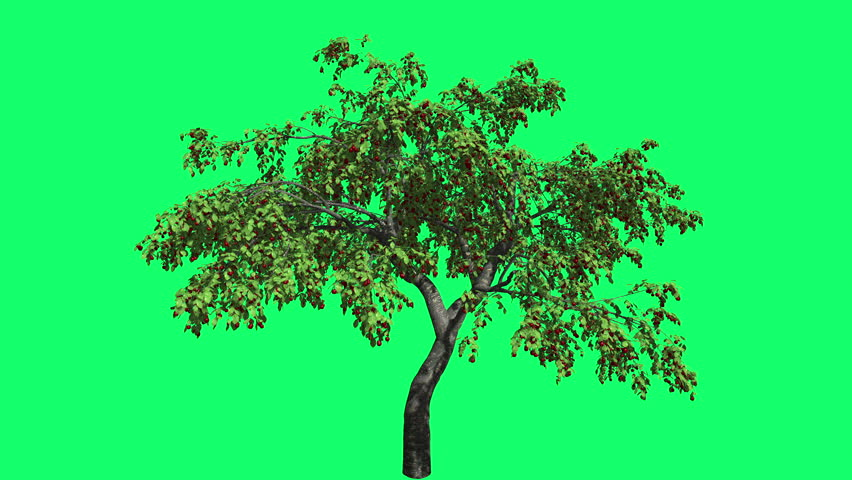 Cherry High Chromakey Swaying Tree Branches Green Swaying Branches Red Shade Windy Croma Key Alfa Green Background Green Screen outdoors studio summer sunny day breeze