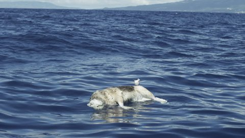 Slow motion dead dog floats at sea, seagull standing on back, Azores, 2013