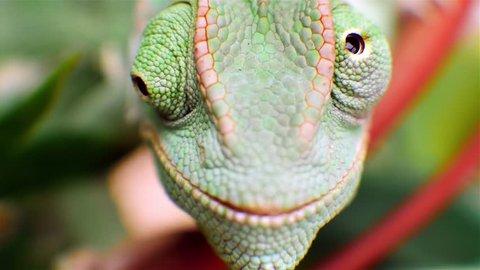 Macro shot in 4k UHD of a Veiled Chameleon's eyes.