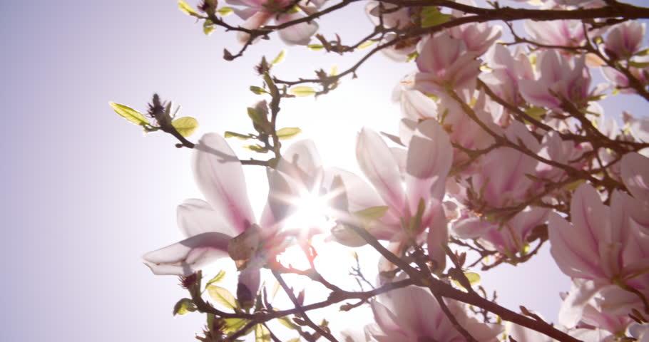 Sunlight Shining Through Flowers On Magnolia Tree