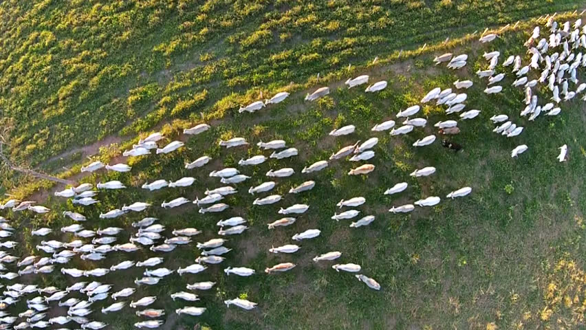 aerial view from cattle