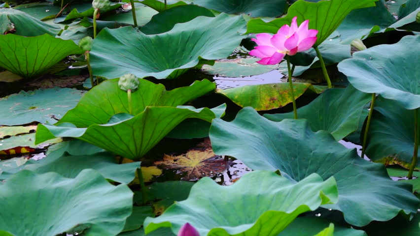 Stock video clip of vivid intensely colored lotus flower nelumbo related video clips mightylinksfo
