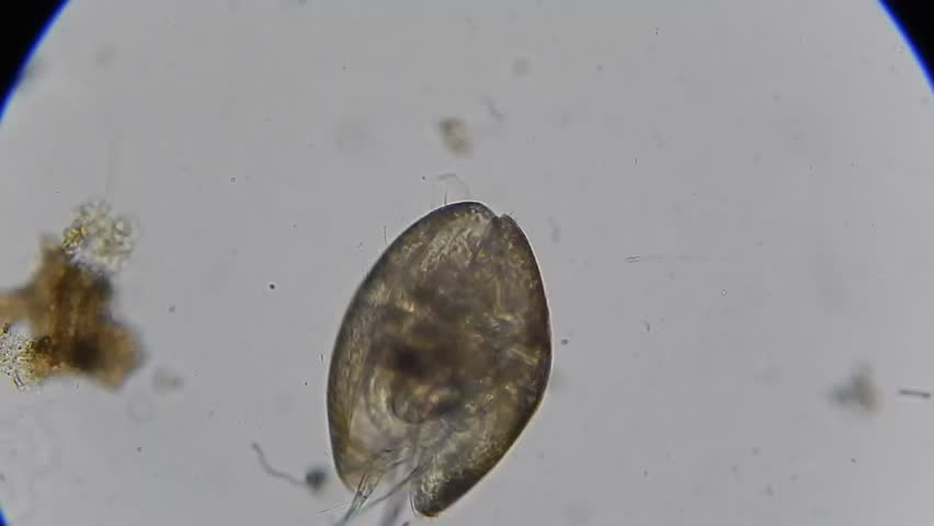 Header of ostracod