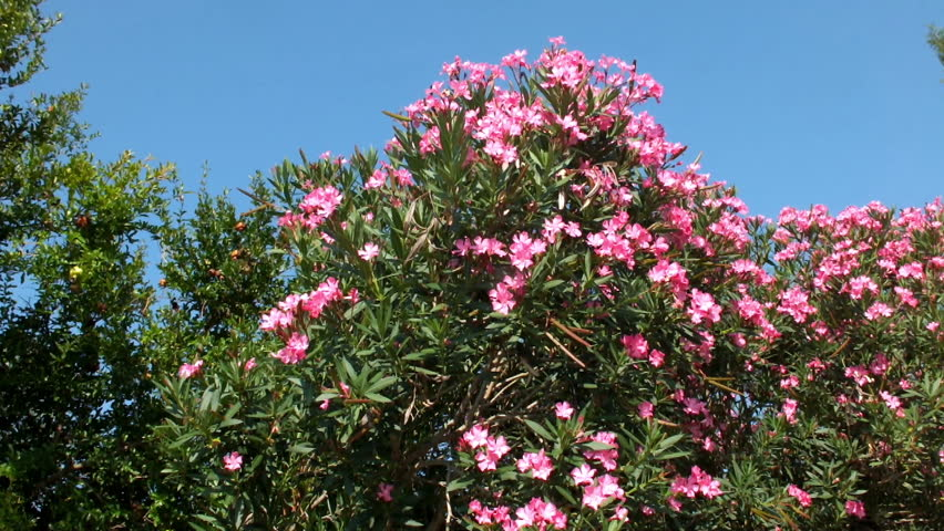 Beautiful hedge of oleander bush stock footage video 100 royalty beautiful hedge of oleander bush with pink flowers and cypress evergreen treesalong the dojran mightylinksfo