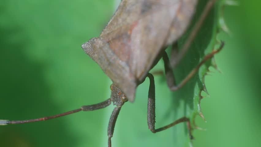 Header of Coreidae