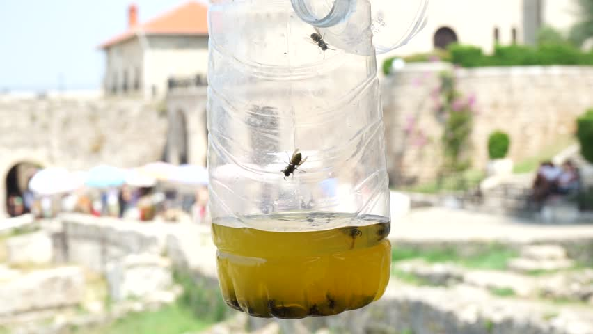 A wasp trap in the shape of a plastic bottle in Kruja, Albania. Wasps are looking for the way out. Shallow depth of field.