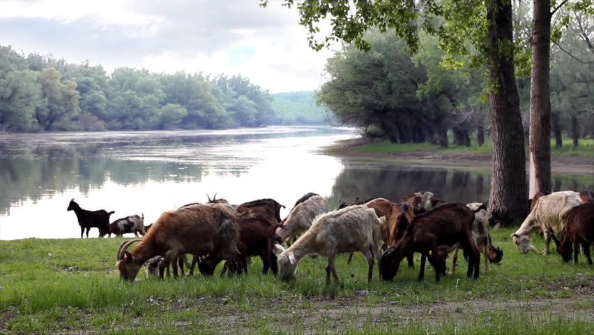 Goats in the woods by the river