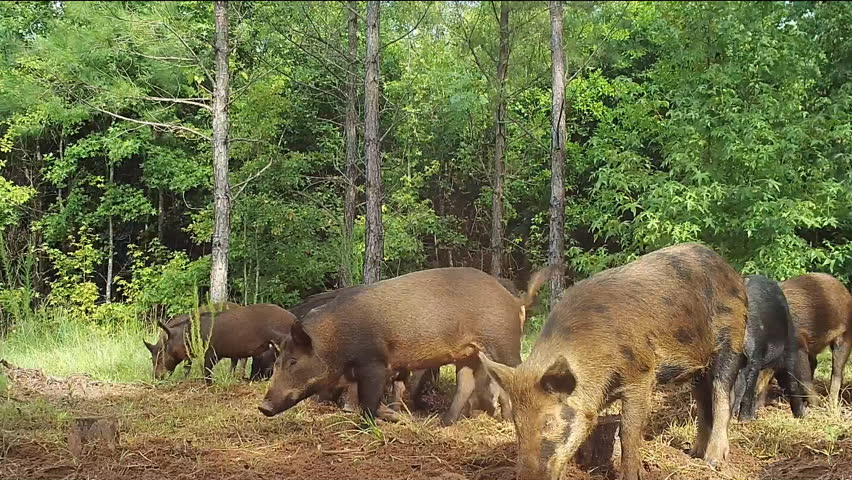 Wild Boar (Sus scrofa) or wild pigs, leaving Georgia swamp to raid farmer's field. Very destructive invasive species which damages many native species and agricultural crops | Shutterstock HD Video #11595677