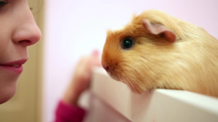 Little girl tries to touch noses with a guinea pig.