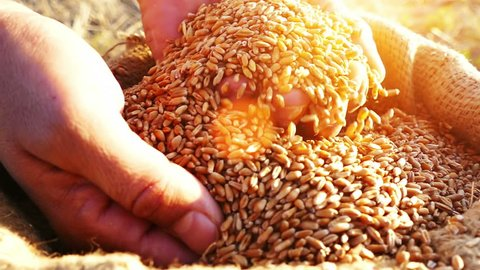 Strong man's hands takes a lot of wheat grains  from a sack, cultivated land , sky and sun in the background. Lens flare, sunset light.Slow motion, high speed camera, unrecognizable person, close up