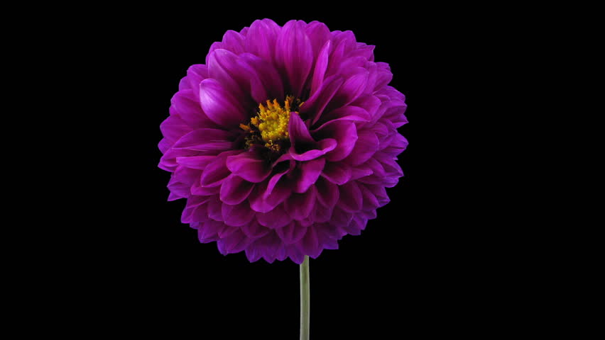 Stock video of time-lapse of blooming purple dahlia flower ...