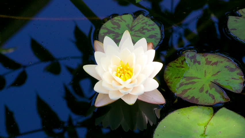 time lapse of lily on the pond, time lapse of water lily on the lake, Time lapse opening of water lily flower, Lotus flower opening