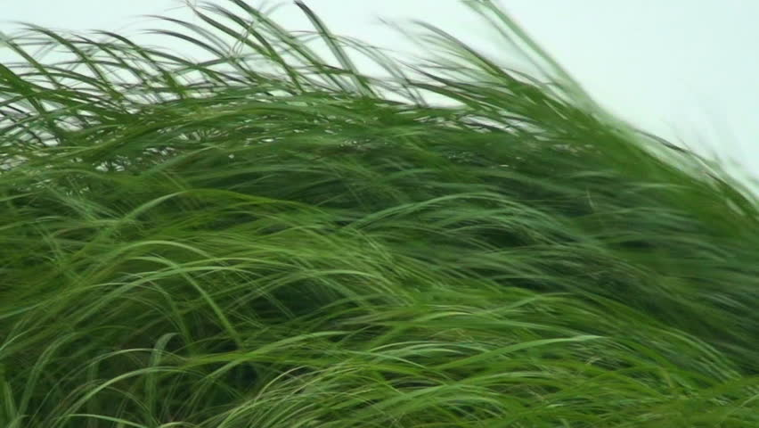 Hard Winds Moving Tall Green Grass, Philippines