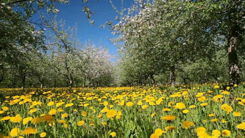 apple garden blossom, dolly