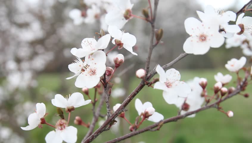 Stock video of beautiful white plum flowers in spring 11767934 stock video of beautiful white plum flowers in spring 11767934 shutterstock mightylinksfo