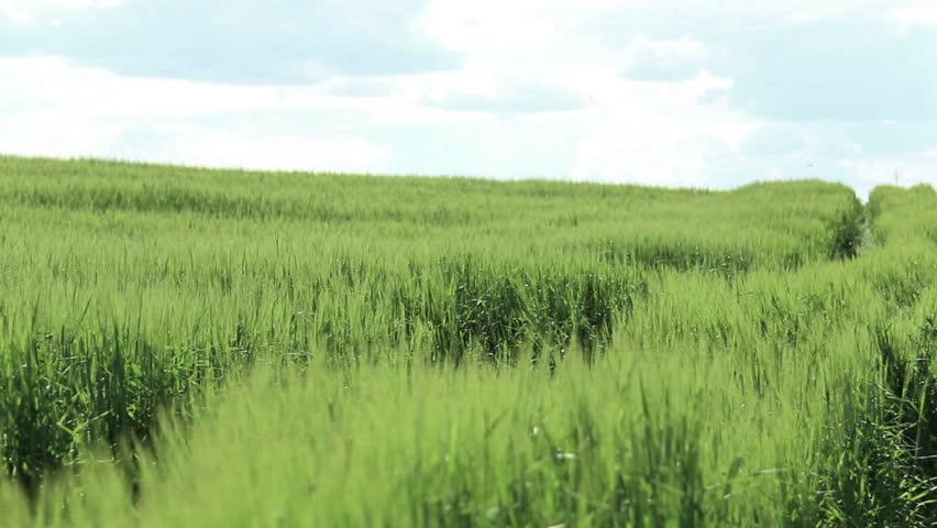 tall green grass field. Boy Runs To The Clouds On Green Field, Teenager Run Across Tall Grass Field A
