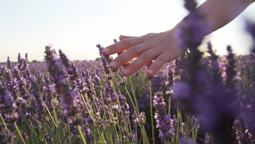 SLOW MOTION CLOSE UP: Hand touching purple flowers in beautiful lavender field at golden sunset
