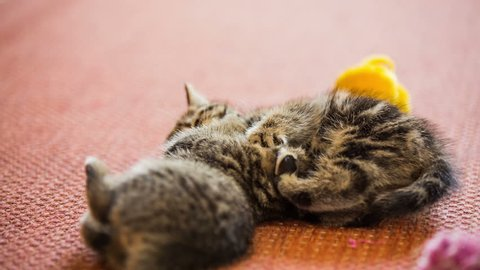 Baby kitten brawl at home.Adorable fight between brother and sister kittens over plush toys. Bright red background.