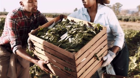 4k steadicam medium shot of farmers and workers passing loaded baskets full of produce on the farm with sun flare.