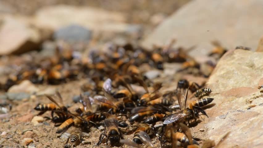 Honey Bees On Ground