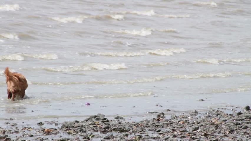 SOUTHAMPTON, UK - MAY, 2015 - Brown Dog Walking Along Beach Picks Up Ball From Water | Shutterstock HD Video #11941385