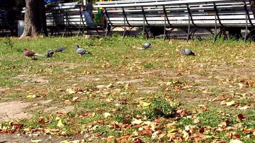 Pigeons searching for food on the grass in the park | Shutterstock HD Video #11973344