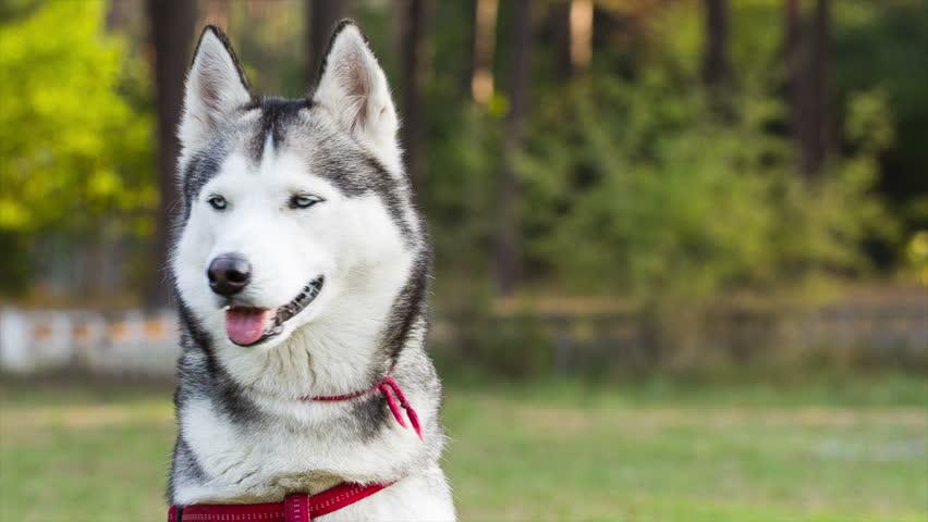 Husky Dog Hd Images
