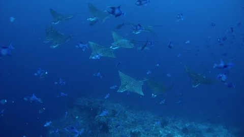 Large school of Eagle Ray with school of Triggerfish swim in the blue water, Spotted Eagle Ray (Aetobatus narinari) and Red-toothed Triggerfish (Odonus niger), Indian Ocean, Maldives