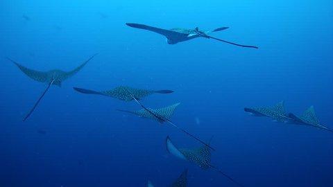 Large school of Spotted Eagle Ray   - Aetobatus narinari swim in the water  column, Indian Ocean, Maldives