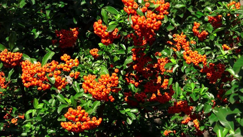 Stock Video Of Sea Buckthorn Bush With Orange Berries 12200984