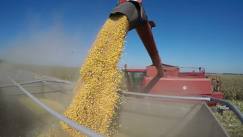 Combine Harvesting Corn and Unloading Grains into Tractor Trailer. Corn Falling from Combine Auger into Tractor Trailer. Harvest Time.