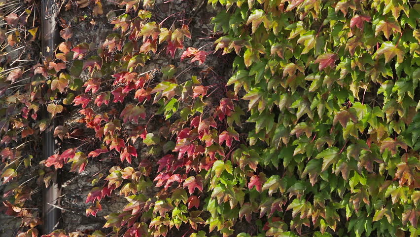 High Quality Green And Red Leaves On Outside Building Wall, Wind Blows Softly, Smooth  Pan.