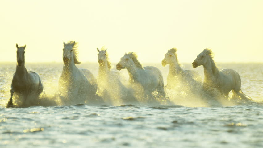 Camargue, France animal horse wild white livestock sunrise rider cowboy running water Mediterranean nature tourism travel RED DRAGON | Shutterstock HD Video #12292664