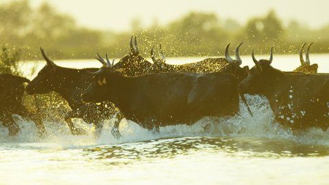 Camargue bull animal wildlife black cow charge charging outdoor running marshland water France Mediterranean freedom travel RED DRAGON