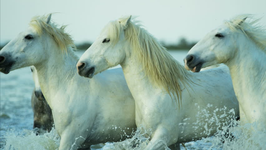 Camargue, France Mediterranean coastline Stallion Gelding outdoors animal horse wild white water running tourist travel RED DRAGON