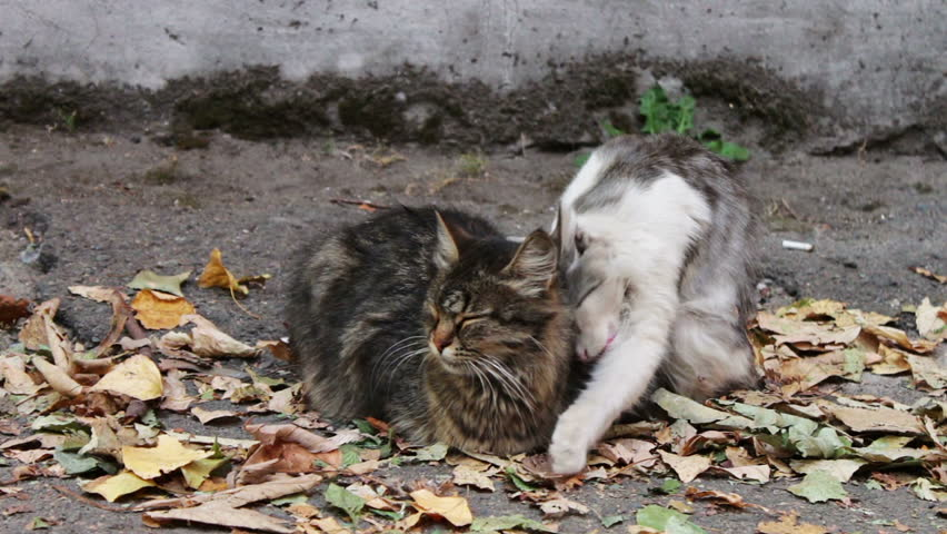 Two cats, one white with gray and the other black with brown, sitting on yellow autumn leaves fallen on the pavement in the yard near the house. A cat licks and cares for another cat.