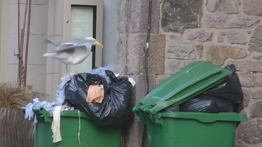 Seagull Looking For Food In A Garbage can Overflowing With Rubbish
