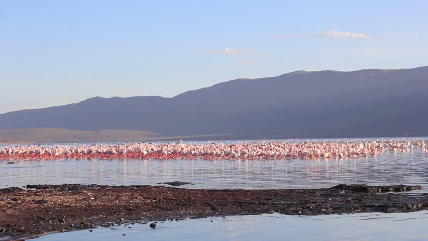 Flamingoes: Lesser and Greater Flamingo at Lake Bogoria, Kenya