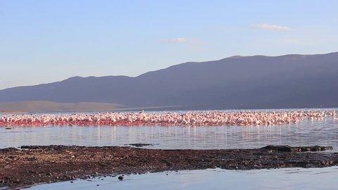Flamingoes: Lesser and Greater Flamingo at Lake Bogoria, Kenya