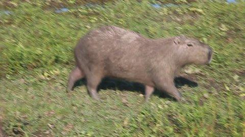 Capybara (Hydrochoerus hydrochaeris)  in Esteros del Ibera, Argentina
