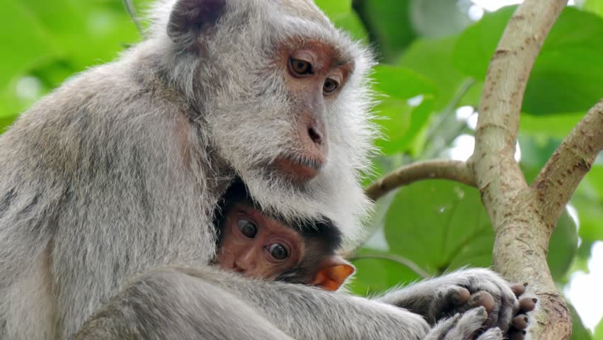 close up of wild rhesus monkey macaque holding its cub sitting on a branch at rain forest ubud bali indonesia